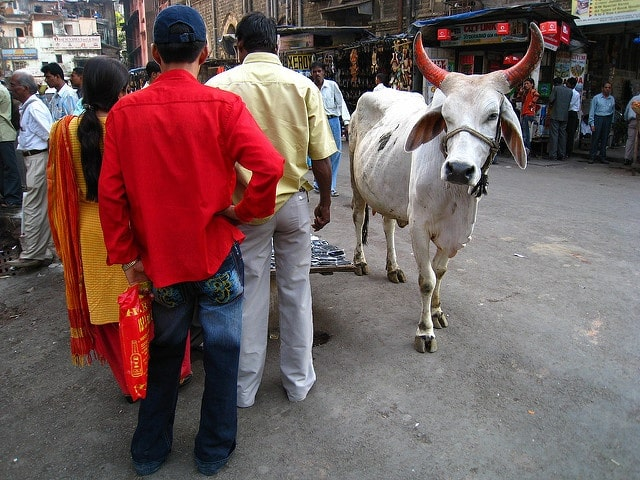 Cow walking through a street in India