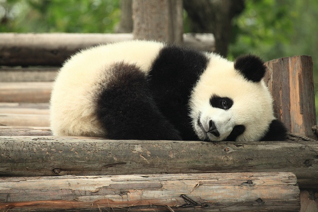 Baby panda laying down