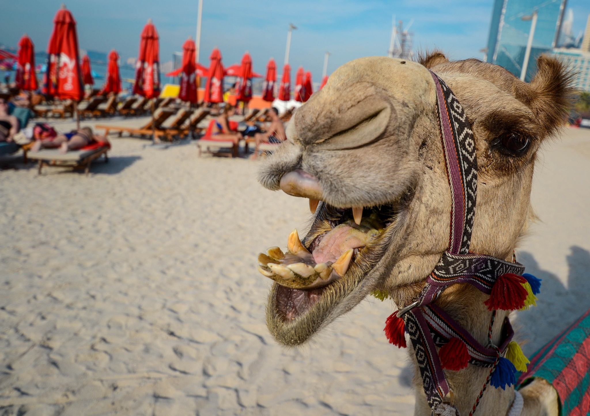 camel on the beach in UAE